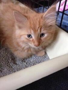 "Baby Female Cat - Domestic Long Hair - orange: ""ANNIE"""