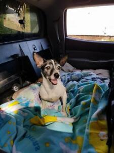 "Adult Male Dog - Rat Terrier: ""Maverick"""