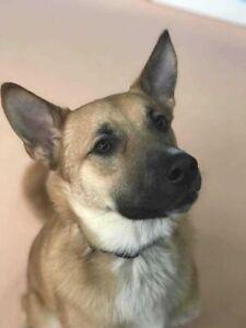 "Young Male Dog - Shepherd-Labrador Retriever: ""Nash"""