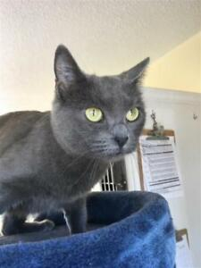 "Adult Female Cat - Domestic Short Hair: ""Stormy"""