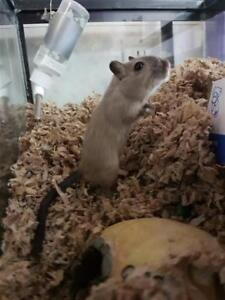 "Young Male Small & Furry - Gerbil: ""Joey"""
