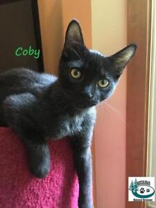 """Baby Male Cat - Domestic Short Hair: """"Coby - Loves to play!"""""""