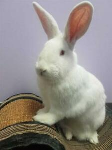 """Young Male Rabbit - American: """"Anthony"""""""