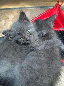 "Baby Male Cat - Russian Blue: ""SMOKEY AND DEX (BONDED)"""