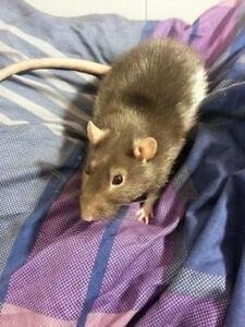 "Adult Male Small & Furry - Rat: ""Sven"""