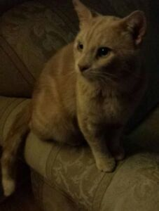Fozy - Lost Male Cat - Orange Tabby Shorthair