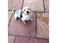 Jack Russell x Yorkie girl