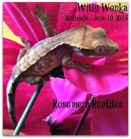 Adorable crested gecko babies for sale - get 2 for 80.00