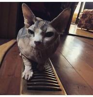 2 year old Loving and friendly sphynx