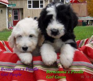 BERNEMMA (Bernese x Maremma Sheep Dog) X POODLE PUPS