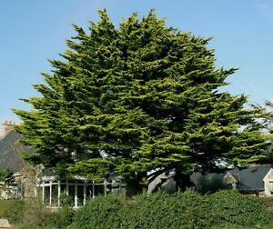 Cipr s de monterrey cupressus macrocarpa 12 semillas for Jardin cipres