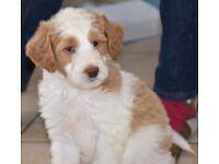 9 week old padenco x poodle puppy