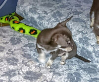 Chihuahua puppy smooth coat - Last pup available!