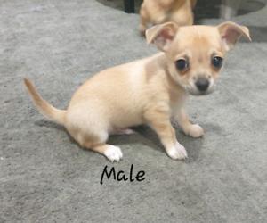1 Male Chihuahua Left