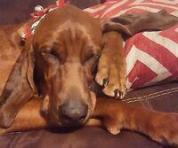 Redbone coon hound