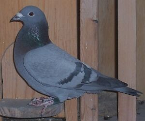 12 pairs proven racing pigeons for sale $10 to $50 each