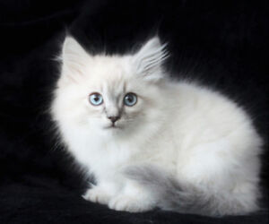 Adorable Ragdoll Kittens for their New Homes