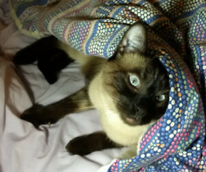 Milo is Missing! Short hair Siamese Colouring Surrey BC