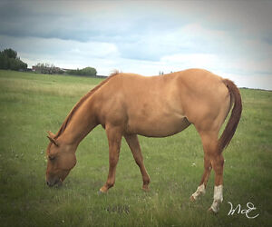 Beautiful golden red dun filly for sale