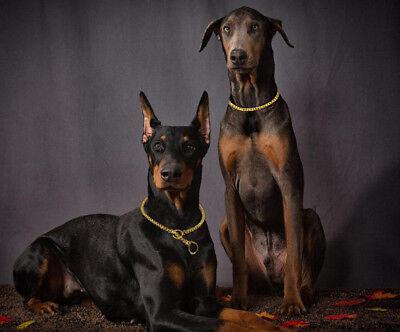 US Dog Show Collar Luxury Titan Choke Chain for Doberman Large Silver Gold  Show Dog Collar