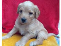 Labradoodle   Dogs & Puppies for Sale - Gumtree