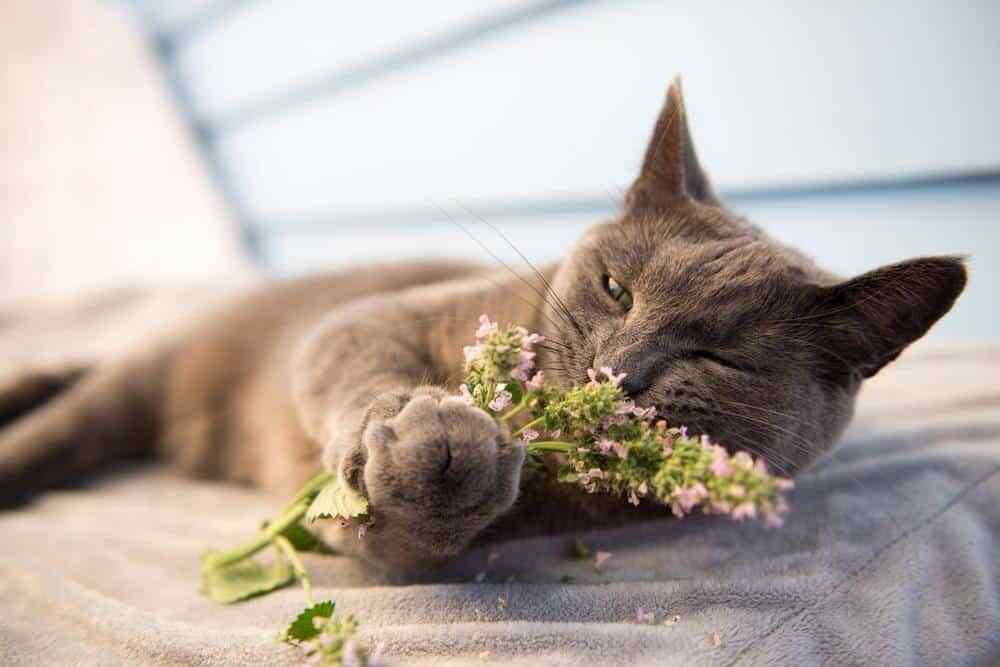 CATNIP FRESH TREAT 2 oz ~ FREE SHIP ~ 100% Premium for Cats Kitten Cat Grass & Catnip