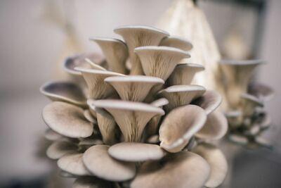 100g Rye Spawn Oyster Mushrooms Blue / Grey Seeds Fresh