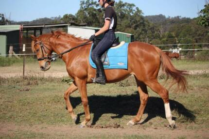 Beautiful, safe, genuine mare! Gilston Gold Coast West Preview