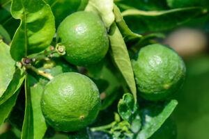 Citrus aurantifolia Lime Verde / Key Lime Tree in 2L Pot, Tasty Edible Limes