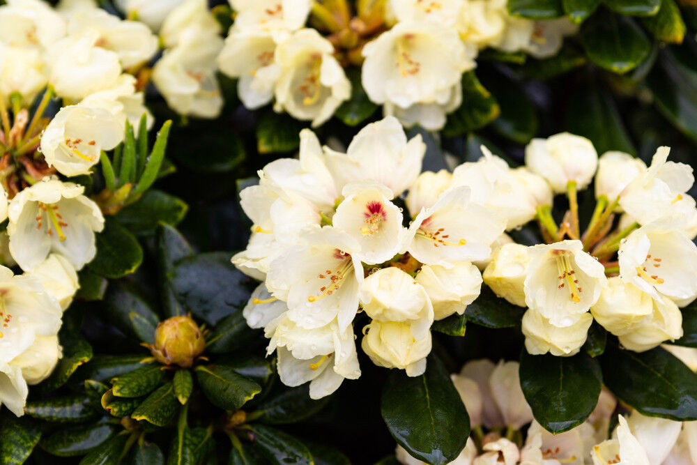 3 Rhododendron Wren Plants In 9cm Pots Magnificent Pale Yellow