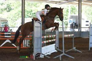 BARGAIN Competitive Showjumping Gelding MUST SELL Samsonvale Pine Rivers Area Preview
