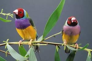 Birds for sale Alstonville Ballina Area Preview