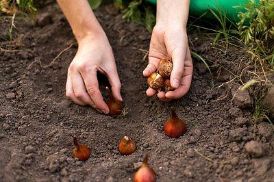 Blumenzwiebeln für Frühblüher sollten im Herbst gesetzt werden. (Foto: Thinkstock via The Digitale)