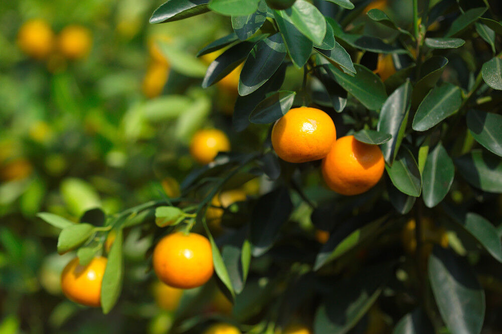 1.5L Pot,Ready to Fruit Citrofortunella /'Calamondin Orange/' Tree 20-25cm Tall