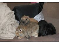 New baby lop rabbits looking for forever home