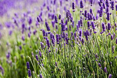 Macht sich prima als Mückenschreck und in Süßspeisen wie Eis: Lavendel. (© Thinkstock via The Digitale)