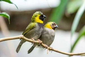 Cuban Finch Canterbury Canterbury Area Preview