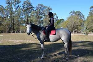 Beautiful grey horse Cashmere Pine Rivers Area Preview