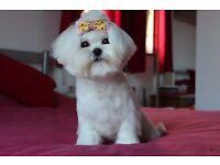 Maltese Girl (Kennel Club Registered)