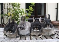 Pure bred Netherland dwarf babies