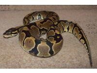 2 x royal pythons for sale