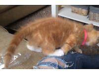 **Beautiful ginger female kitten**