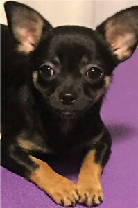CKC REG'D CHIHUAHUA female short coat
