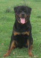 CKC Registered Rottweiler Pups
