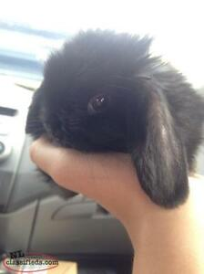 Sale on baby American Fuzzy Mini Lops. this week only 50.00 off!