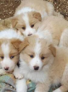 Border Collie Puppies Katunga Moira Area Preview