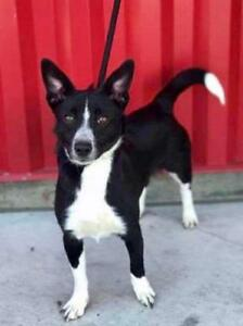 "Young Male Dog - Corgi-Border Collie: ""Archie"""