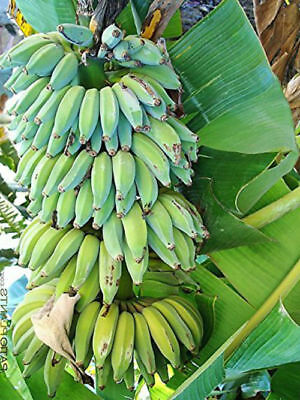 4 Banana Live Plants Dwarf Namwah Four Fruits Plant Best Gift 2