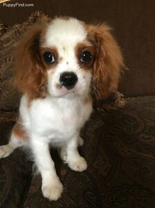 AKC Champion Cavalier King Charles Spaniel FEMALE PUPPY