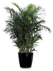 Bamboo Palm    -  Chamaedorea seifrizii St Clair Penrith Area Preview